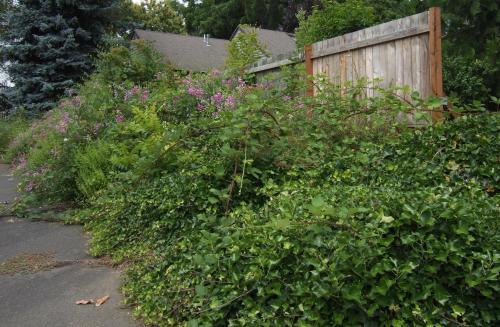 Downhill Shitheap - blackberry choked driveway